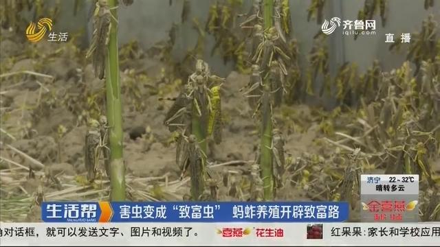 """枣庄:害虫变成""""致富虫"""" 蚂蚱养殖开辟致富路"""