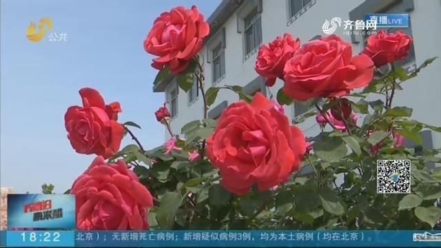 济南北石硖玫瑰变形记
