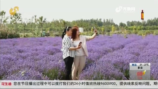 聊城:千亩薰衣草花开正盛 芳香产业助力乡村振兴