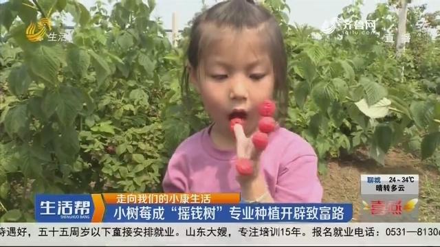 """【走向我们的小康生活】烟台:小树莓成""""摇钱树"""" 专业种植开辟致富路"""