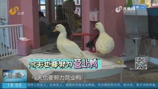 """网红萌宠柯尔鸭的自白:身价1.5万""""打工""""济南宽厚里"""