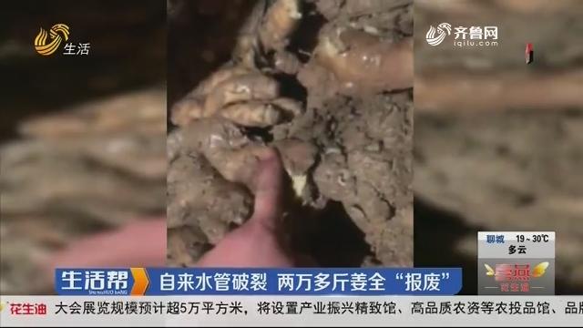 """潍坊:自来水管破裂 两万多斤姜全""""报废"""""""