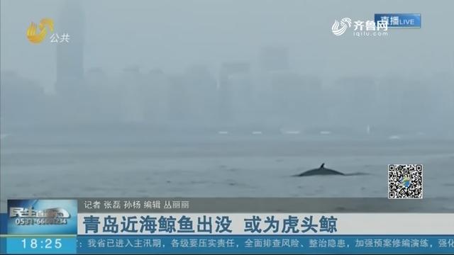青岛近海鲸鱼出没 或为虎头鲸