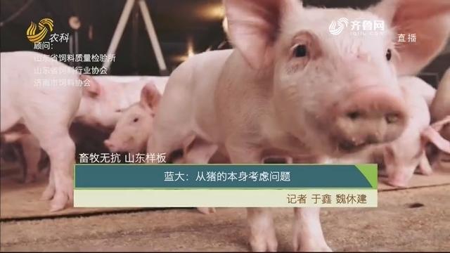 【齐鲁畜牧】畜牧无抗 山东样板——蓝大:从猪的本身考虑问题