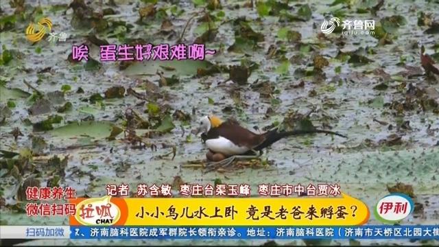枣庄:生态环境改善 水雉安家落户