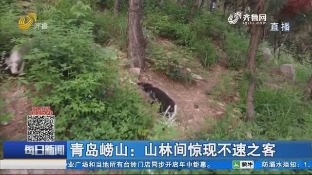 青岛崂山:山林间惊现不速之客