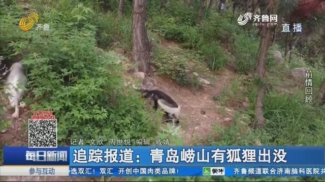 追踪报道:青岛崂山有狐狸出没