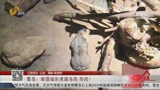 【记者探访】青岛:啤酒城听虎啸鸟鸣 热闹!