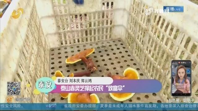 """泰安:泰山赤灵芝撑起农民""""致富伞"""""""
