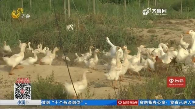 养殖户心急 四百多只鹅不见了