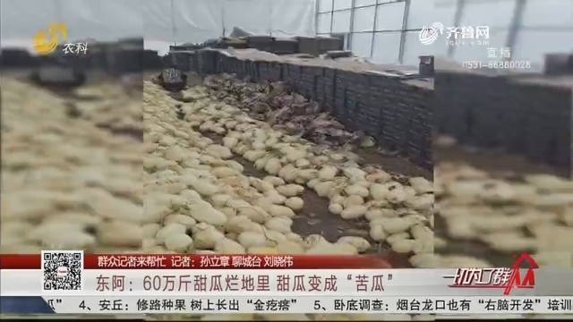 """【群众记者来帮忙】东阿:60万斤甜瓜烂地里 甜瓜变成""""苦瓜"""""""