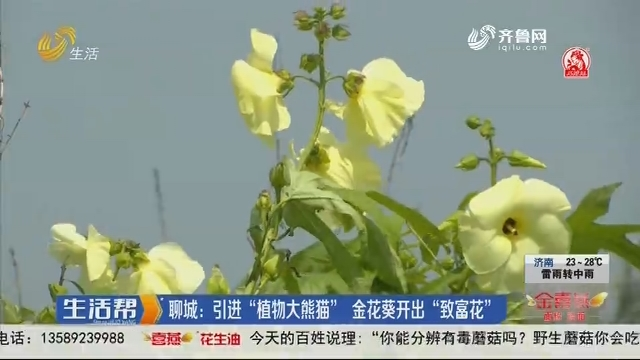 """聊城:引进""""植物大熊猫""""金花葵开出""""致富花"""""""