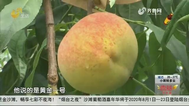 """济南:""""黄金蜜桃""""大丰收 农户遭遇销售难"""