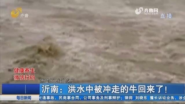 沂南:洪水中被冲走的牛回来了!