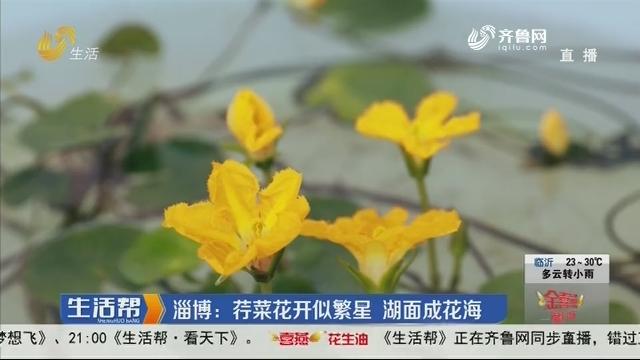 淄博:荇菜花开似繁星 湖面成花海