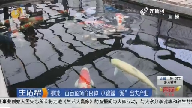 """聊城:百亩鱼场育良种 小锦鲤""""游""""出大产业"""