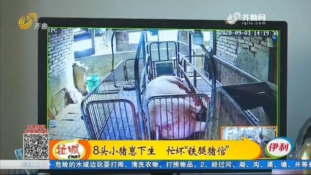 """滨州:8头小猪崽下生 忙坏""""铁腿猪倌"""""""