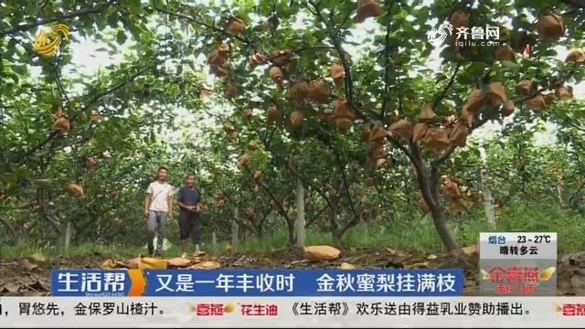又是一年丰收时 金秋蜜梨挂满枝