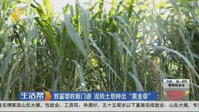 """菏泽:致富增收新门道 流转土地种出""""黄金草"""""""
