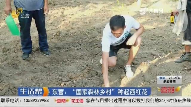 """东营:""""国家森林乡村""""种起西红花"""
