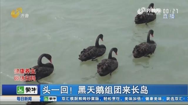 头一回!黑天鹅组团来长岛