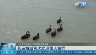 长岛海域首次发现黑天鹅群