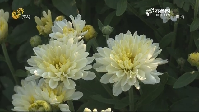 烟台:簇簇白菊竞相开放