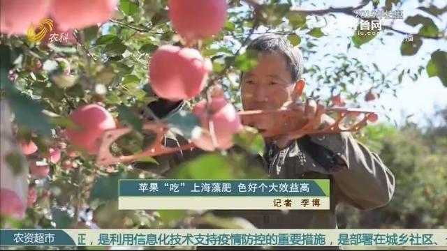 """苹果""""吃""""上海藻肥 色好个大效益高"""