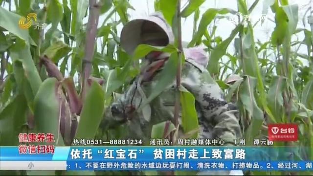 """淄博:依托""""红宝石"""" 贫困村走上致富路"""