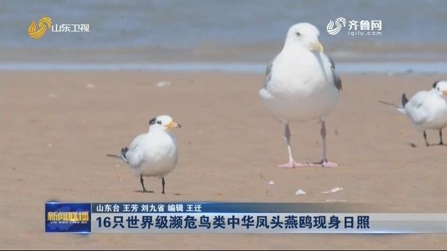 16只世界级濒危鸟类中华凤头燕鸥现身日照