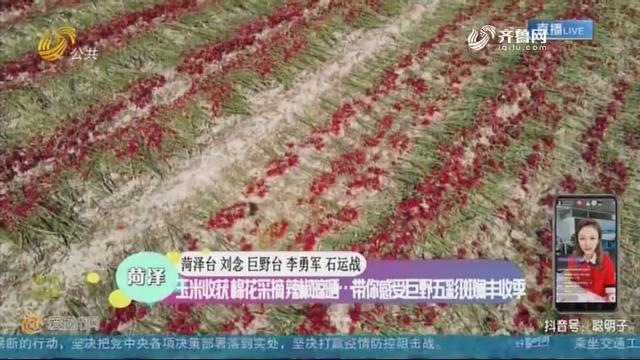 菏泽:玉米收获 棉花采摘 辣椒晾晒…带你感受巨野五彩斑斓丰收季