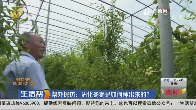 帮办探访:沾化冬枣是如何种出来的?