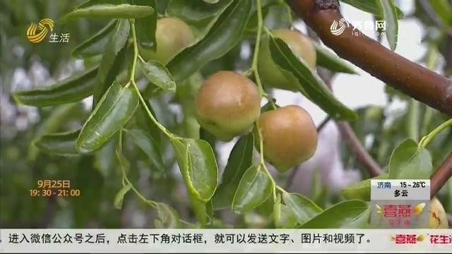 【寒露至 冬枣熟】300多岁!这颗冬枣树不一般!