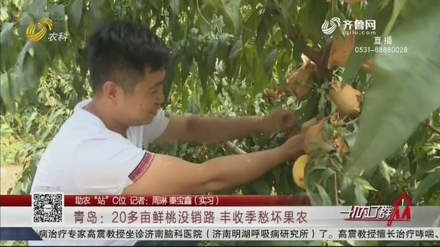 """【助农""""站""""C位】青岛:20多亩鲜桃没销路 丰收季愁坏果农"""