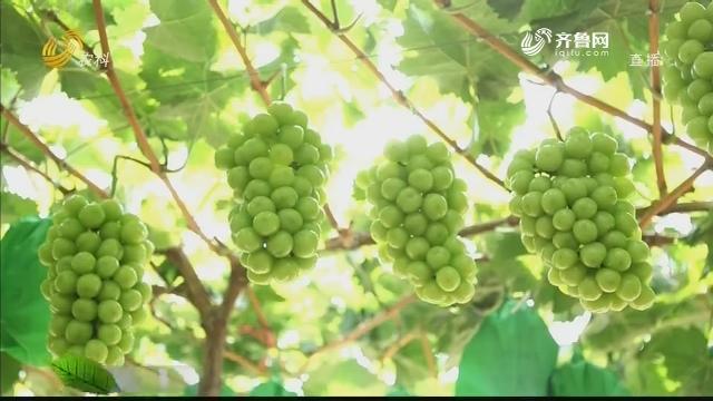 【史丹利星光农场】四十多亩葡萄多卖一百万
