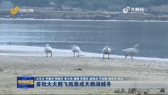 首批大天鹅飞抵荣成天鹅湖越冬