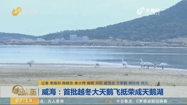 威海:首批越冬大天鹅飞抵荣成天鹅湖