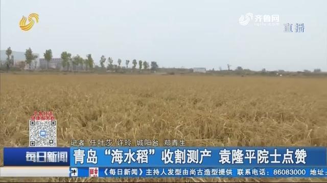 """青岛""""海水稻""""收割测产 袁隆平院士点赞"""