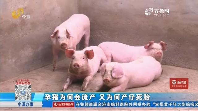 孕猪为何会流产 又为何产仔死胎