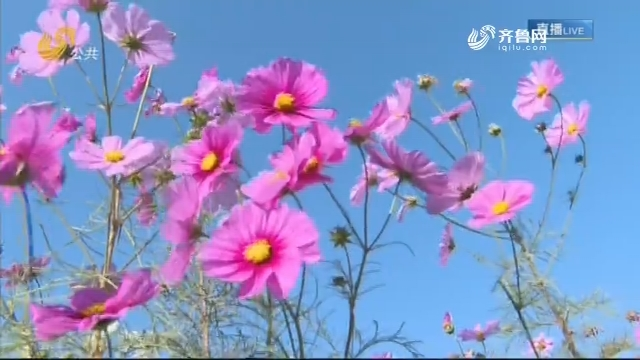 青州:寻一片花海 赏秋日美景