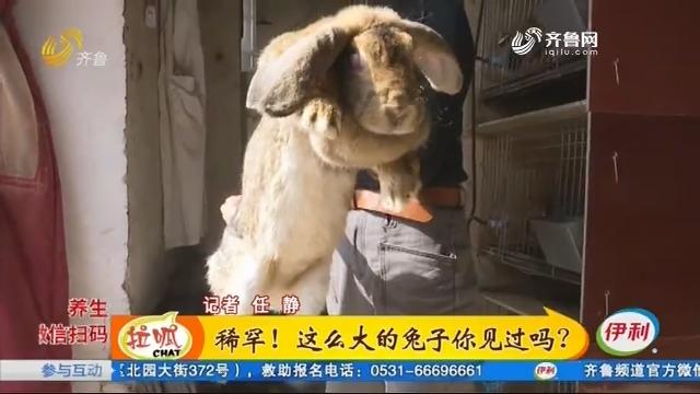 稀罕!这么大的兔子你见过吗?