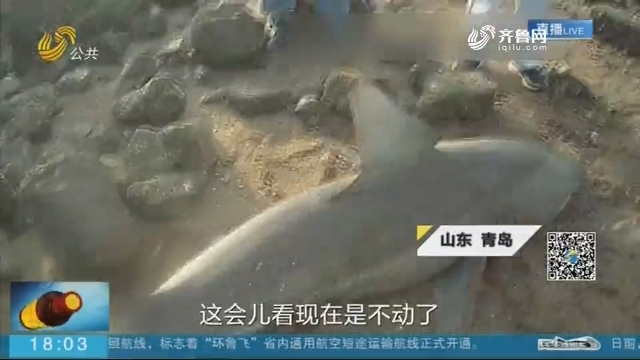 青岛一海滩发现2米长搁浅鲨鱼