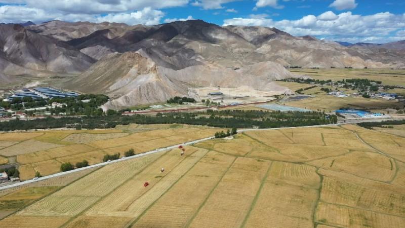 山东援藏:青稞秸秆高原氨化 小技术解决大问题