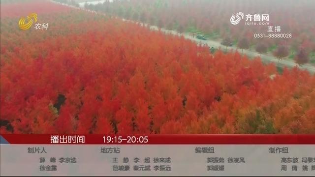 【金秋十月 最美山东】日照五莲3500亩红枫进入最佳观赏期