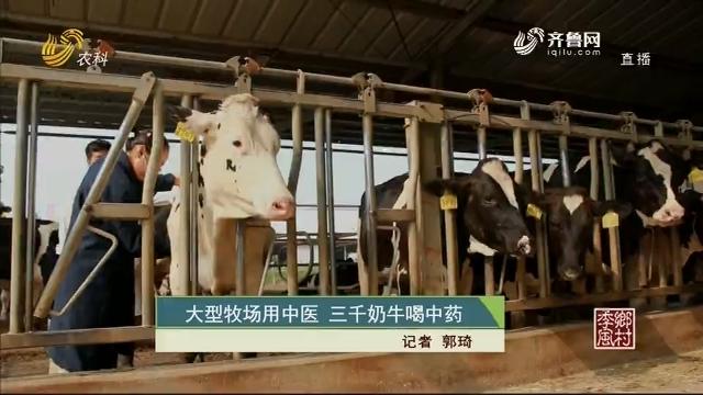 大型牧場用中醫 三千奶牛喝中藥