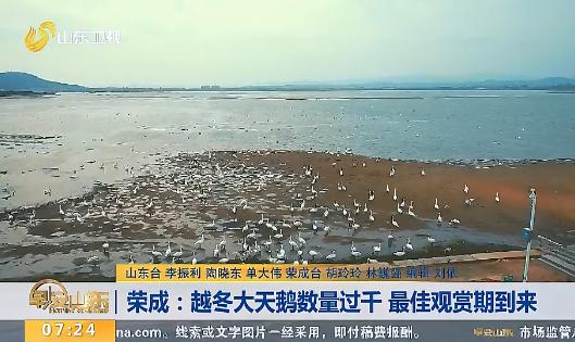 荣成:越冬大天鹅数量过千 最佳观赏期到来