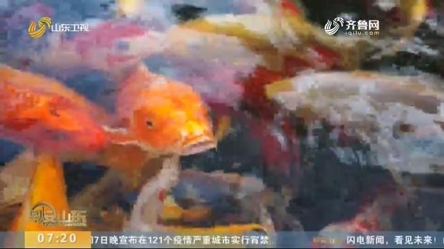 """记者探访聊城高唐的锦鲤产业基地 看养殖户如何为锦鲤做""""美容"""""""