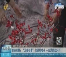 """青岛即墨:""""北美冬青"""" 红果挂枝头 一亩地能卖24万"""