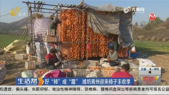 """好""""柿""""成""""霜"""" 潍坊青州迎来柿子丰收季"""