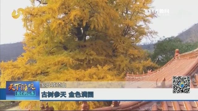 【安丘城顶山】古树参天 金色满园